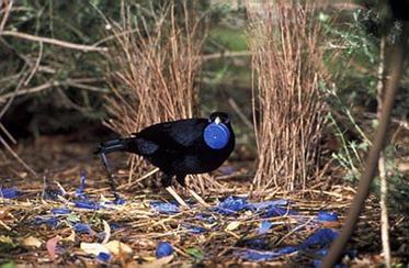 Satinbowerbird2